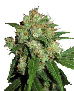 Phoenix SeedsUK Cheesy Express Auto Feminised Seeds