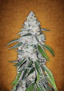 FastBuds SeedsWest Coast O.G. Auto Feminised Seeds