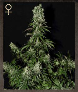 Strain Hunters MerchandiseWhite Strawberry Skunk Feminised Seeds