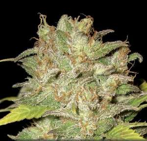 CBD SeedsWidow Feminised Seeds
