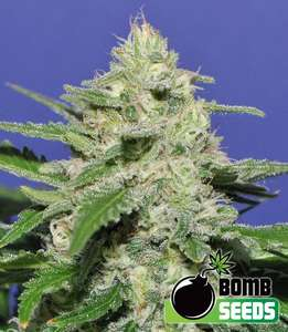 Bomb SeedsWidow Bomb Feminised Seeds