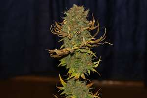Power Africa Feminised Seeds FAST