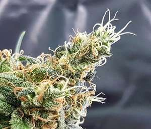 Glueberry Feminised Seeds