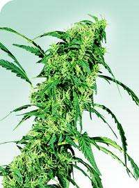 Sensi Seeds Fruity Juice Regular cannabis seeds