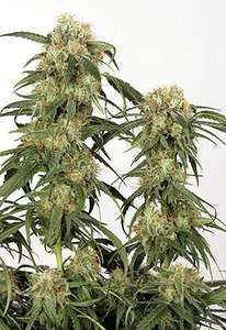 Dutch PassionPamir Gold Feminised Seeds