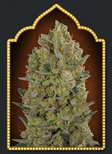 00 Seeds 00 Cheese Feminised cannabis seeds