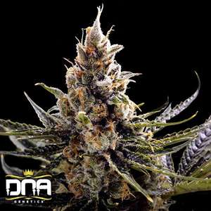 DNA Genetics 24K Gold Feminised cannabis seeds