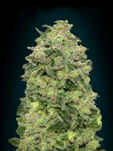 Advanced Seeds Afghan Skunk Auto Feminised cannabis seeds