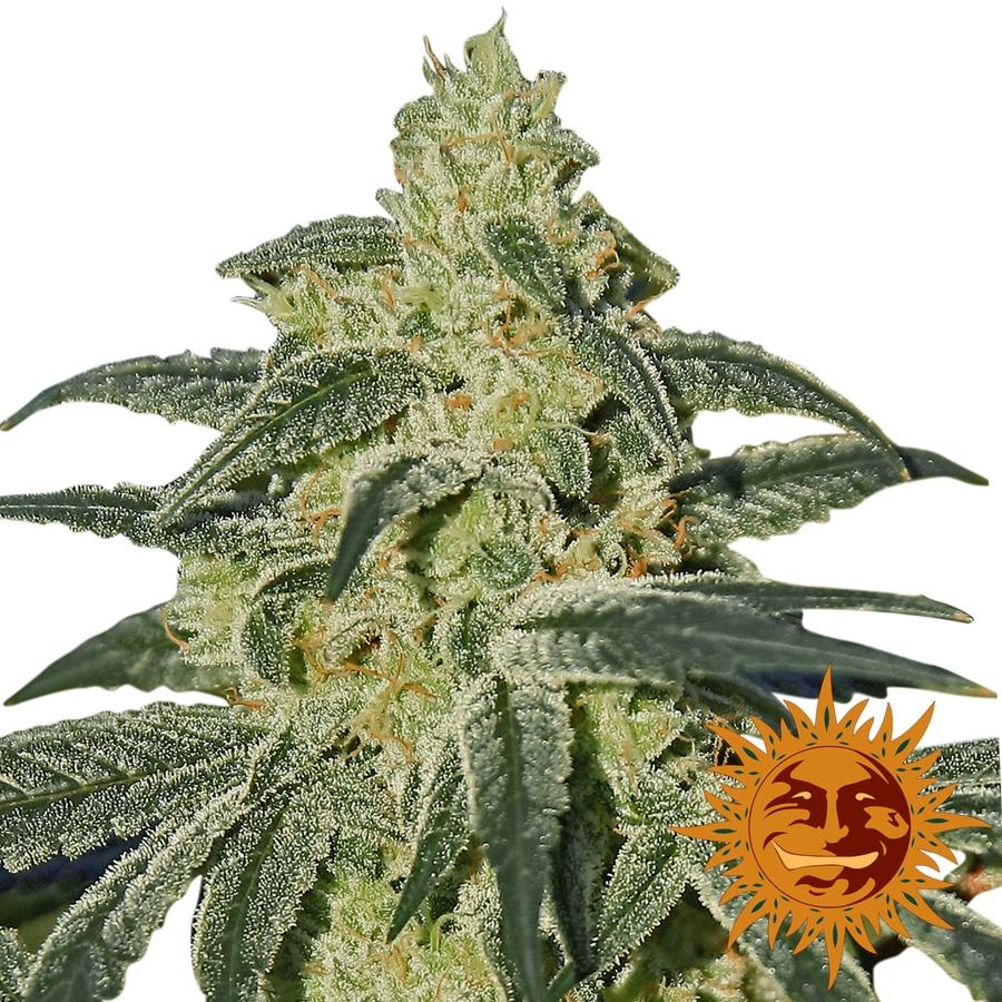 Barney's Farm Seeds Afghan Hash Plant Regular  cannabis seeds