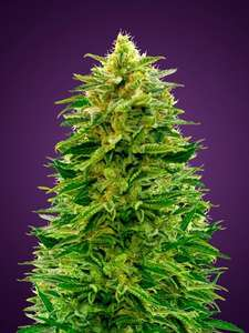 Advanced SeedsAmnesia Auto Feminised Seeds