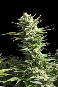Royal Queen Seeds Amnesia Haze Feminised cannabis seeds