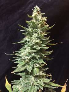 SeedsmanAmnesia FAST Feminised Seeds