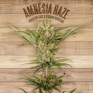The Plant Amnesia Haze Feminised cannabis seeds