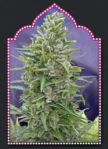 00 SeedsAutomatik Mix Auto Feminised Seeds