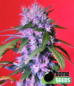 Bomb Seeds Berry Bomb Auto Feminised cannabis seeds