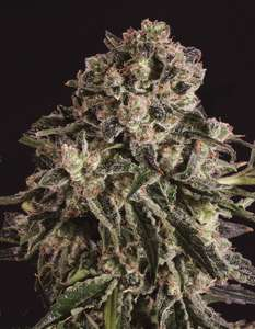 Super CBDxBlack Critical x SCBDX Feminised Seeds