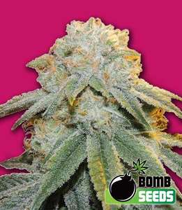 Bomb SeedsBubble Bomb Feminised Seeds