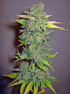 Seedsman Cheese Feminised cannabis seeds