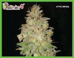 Dr Krippling Seeds Chocolate Orange Auto Feminised cannabis seeds