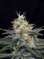 BlimBurn Seeds Chocolopez Feminised cannabis seeds