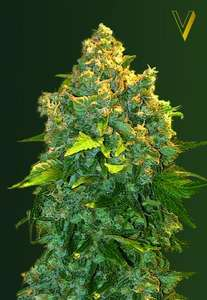 Victory SeedsChronic Monster XXL Auto Feminised Seeds