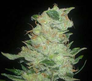 Elev8 SeedsCinex Regular Seeds - 12