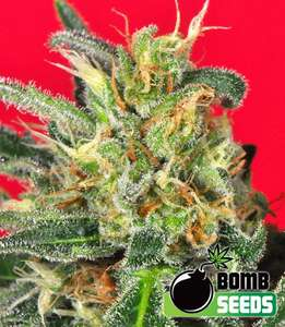 Bomb Seeds Cluster Bomb Feminised cannabis seeds