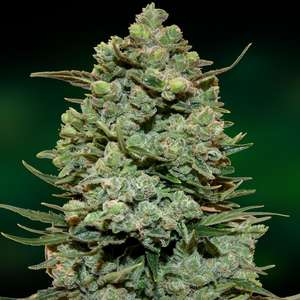 Barney's Farm Seeds Cookies Kush Feminised cannabis seeds