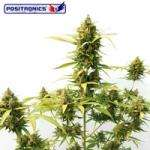 Positronic Seeds Critical Express Autoflowering Feminised cannabis seeds