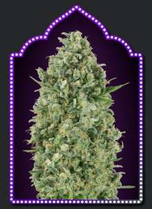 00 SeedsCritical Poison Feminised Seeds - 5