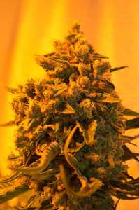 Emerald TriangleCritical Sour Diesel Feminised Seeds