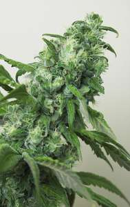 House of the Great GardenerDigweed Feminised Seeds - 6