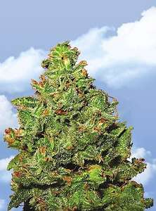 Flying DutchmenEdelweiss Feminised Seeds