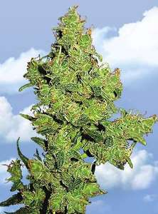 Flying Dutchmen Flying Dragon Feminised cannabis seeds