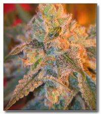 Female SeedsGrapefruit Feminised Seeds