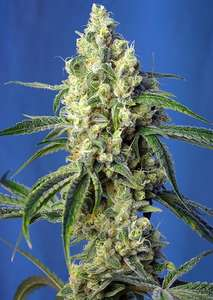 Sweet Seeds Green Poison CBD Feminised cannabis seeds