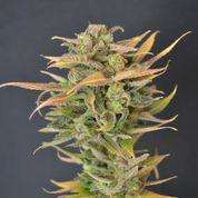 710 Genetics High Priority Auto Feminised cannabis seeds