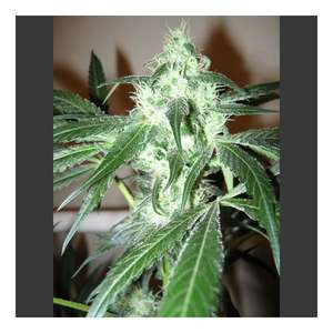 Nirvana Seeds Ice Feminised cannabis seeds