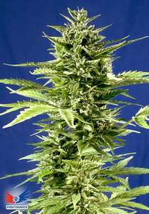 Positronic Seeds Jack Diesel Express Auto Feminised cannabis seeds