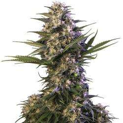 Buddha Seeds Kraken Feminised cannabis seeds