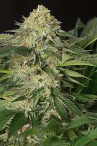 Humboldt Seeds Lemon Garlic OG Feminised cannabis seeds