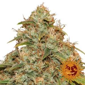 Barney's Farm Seeds Lemon Potion CBD Auto Feminised cannabis seeds