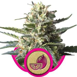 Royal Queen Seeds Lemon Shining Silver Haze Feminised cannabis seeds