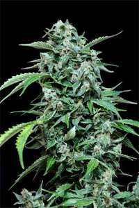 Grass-O-Matic SeedsMaxi Haze Auto Feminised Seeds