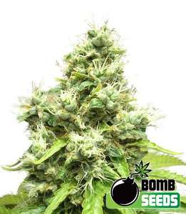 Bomb Seeds Medi Bomb #1 Feminised cannabis seeds