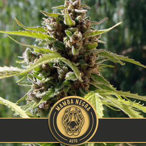 BlimBurn Seeds Mamba Negra Auto Feminised cannabis seeds