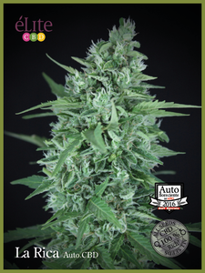 Elite Seeds La Rica CBD Auto Feminised cannabis seeds