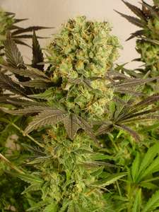 Serious Seeds Motavation Feminised cannabis seeds
