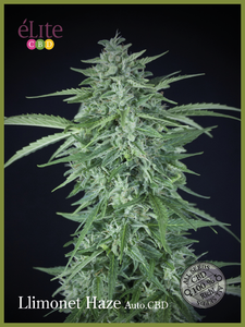 Elite Seeds Llimonet Haze CBD Auto Feminised cannabis seeds