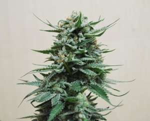 Kalashnikov SeedsNorthern Russian Auto Feminised Seeds
